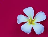Frangipani flower isolated Royalty Free Stock Images