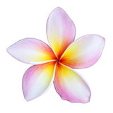 Frangipani flower Stock Images