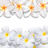 Frangipani flower isolated on white backgound Stock Images