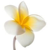 Frangipani flower Royalty Free Stock Photography