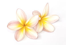 Frangipani flower isolated Stock Photos