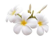 Frangipani flower Stock Images