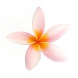 Frangipani flower isolated on white background Royalty Free Stock Photos
