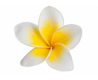 Frangipani. Flower isolated on white background stock images