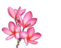 Frangipani flower isolated Royalty Free Stock Photos