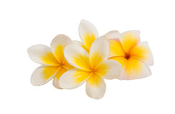 Frangipani flower isolated Royalty Free Stock Photography