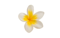 Frangipani flower isolated Royalty Free Stock Photos