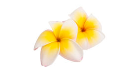 Frangipani flower isolated Stock Photography
