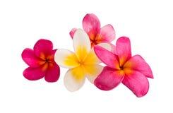 Frangipani flower isolated Stock Images