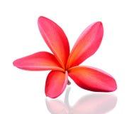 Frangipani flower isolated on the white background Stock Photography