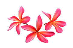 Frangipani flower isolated on the white background Stock Photos