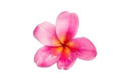 frangipani flower isolated Stock Image
