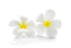 Frangipani flower isolated on white background. White frangipani flower isolated on white royalty free stock photo