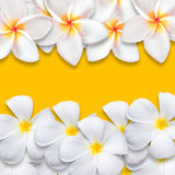 Frangipani flower isolated on yellow backgound Stock Photos