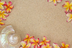 Frangipani flower and a large sea shell on sand. Group of frangipani, plumeria flowers with large sea shell on sand Royalty Free Stock Image