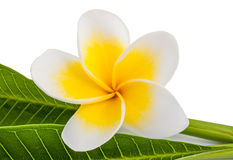 Frangipani. Flower with leaves isolated on white royalty free stock image