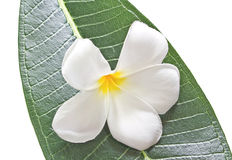 Frangipani flower and leaves Stock Images