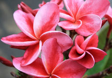 Frangipani flower or Leelawadee Royalty Free Stock Photos