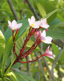 Frangipani flower or Leelawadee flower on the tree Stock Image