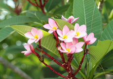 Frangipani flower or Leelawadee flower on the tree Stock Photos