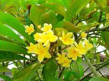 Frangipani flower or Leelawadee. The frangipani flower or Leelawadee flowers in Thailand Stock Photos