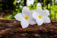 Frangipani Flower on a log and blurry background Royalty Free Stock Photos
