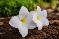 Frangipani Flower on a log and blurry background Stock Images