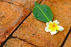 Frangipani flower in the nature. Frangipani placed on the brick Stock Photography