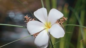 Frangipani flower near water stream. Shot with Sony a7s and Atomos Ninja Flame on sunny summer day stock video