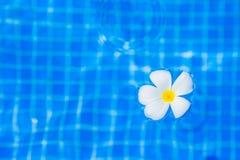 Frangipani flower in outdoor swimming pool Stock Photo