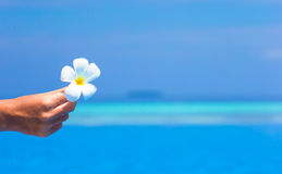 Frangipani flower in outdoor swimming pool Royalty Free Stock Photography