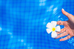 Frangipani flower in outdoor swimming pool Stock Photos
