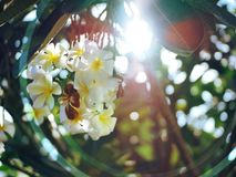 Frangipani Flower 2 from Palu City of Indonesia royalty free stock photography