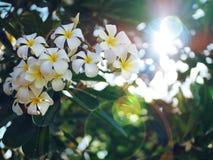 Frangipani Flower from Palu City of Indonesia royalty free stock photo