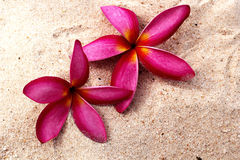 Frangipani flower - pink flowers on the sand Royalty Free Stock Image