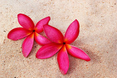 Frangipani flower - pink flowers on the sand Royalty Free Stock Photo