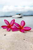 Frangipani flower - pink flowers yellow on the sand Royalty Free Stock Photography