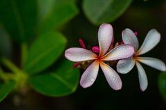 Frangipani flower. Pink frangipani flower or plumeria flower Stock Images