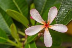 Frangipani flower. Pink frangipani flower or plumeria flower Stock Photos