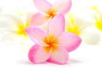 Frangipani flower. Pink and white Frangipani Plumeria flower isolated on a white background Royalty Free Stock Photography