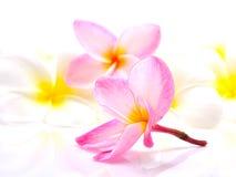 Frangipani flower. Pink and white Frangipani Plumeria flower isolated on a white background Stock Photo
