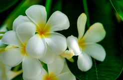 Free Frangipani Flower Plumeria Alba With Green Leaves On Blurred Background. White Flowers With Yellow At Center. Health And Spa Stock Photography - 127256472