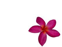 Frangipani Flower or Plumeria .clipping path Royalty Free Stock Photos