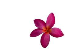 Frangipani Flower or Plumeria .clipping path Stock Photos