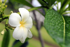 Frangipani Stock Image