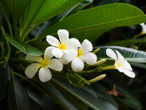 Frangipani flower - Plumeria Stock Images