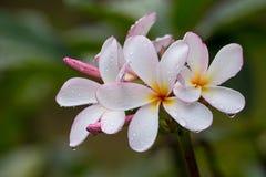 Frangipani flower , Plumeria Stock Images
