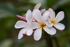 Frangipani flower , Plumeria Royalty Free Stock Photography