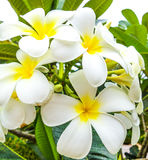 Frangipani flower. Frangipani, Plumeria tropical flower cluster royalty free stock photo