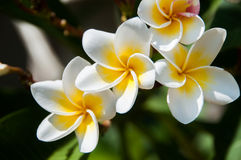 Frangipani flower. Frangipani, Plumeria tropical flower cluster stock images